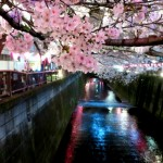 Cherry-blossom viewing10
