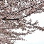 Cherry-blossom viewing33