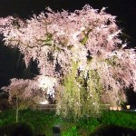Cherry-blossom viewing8